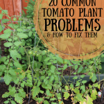 Avoid Common Problems When Growing Tomatoes