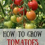 Best Tomatoe Growing Tips You Need!