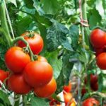 From Seeds To Tomatoes - How To Guide