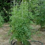 Grow Tomato Plants With No Garden