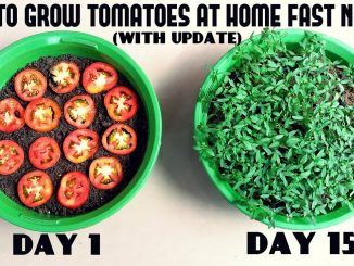 Grow Tomatoes from Tomatoes (Easiest Method Ever With Update...