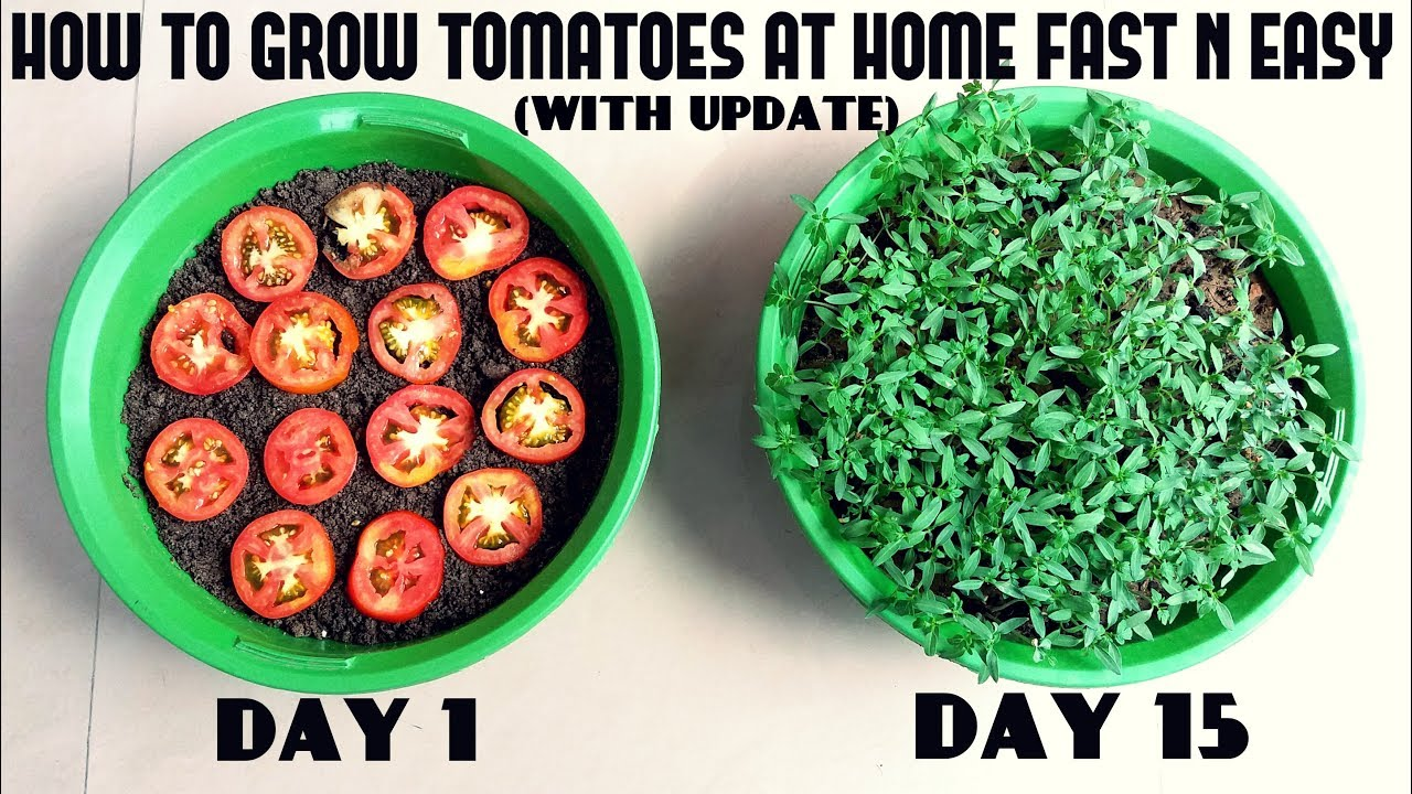 Grow Tomatoes from Tomatoes (Easiest Method Ever With Update…