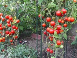 Grow Tomatoes NOT Foliage!
