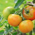 Growing And Harvesting Tomatoe Plants