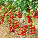 Growing The Best Tomatoes