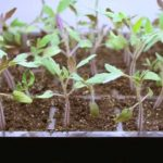 Growing Tomatoes From Seeds Start Now