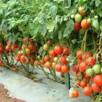 Growing Tomatoes In Different Tempatures Guide