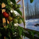 Growing Tomatoes In The Home