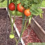 I Grow My Tomatoe Plants At Home So Can You