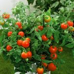 Improving Tomatoe Growing Plant Health