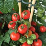 Learn To Plant Tomato Seeds Correctly