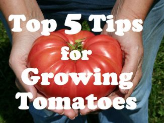 My Top 5 Tips For Growing Tomatoes.