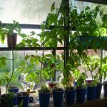 Our Guide to Growing Tomatoes Indoors