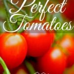 Perfect Timing For Growing Tomatoes
