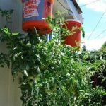 Save Time Growing Tomatoes Upside Down