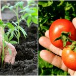 Secrets To Growing Organic Tomatoes
