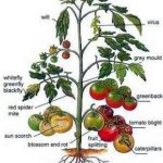 Solutions To Growing Tomatoe Problems