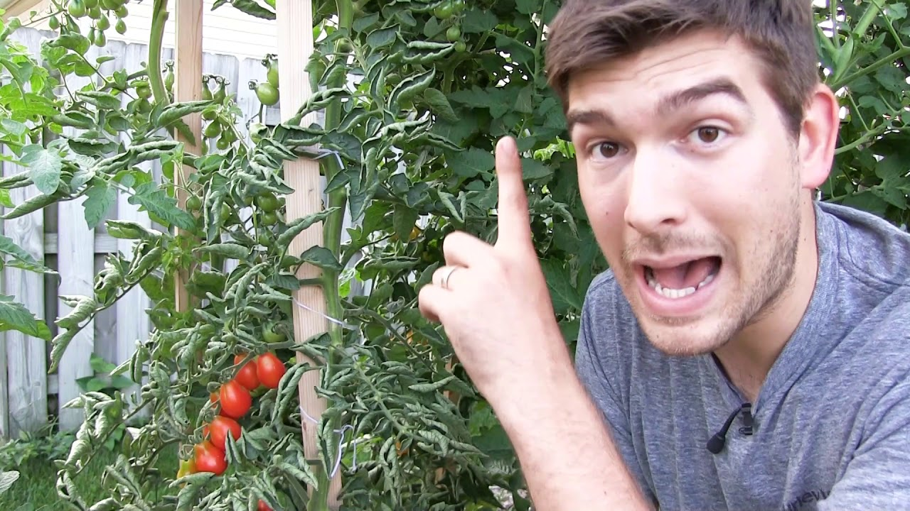 Our 6 Step Secret to Growing 10+ FOOT Tall Tomatoes ….Orga…