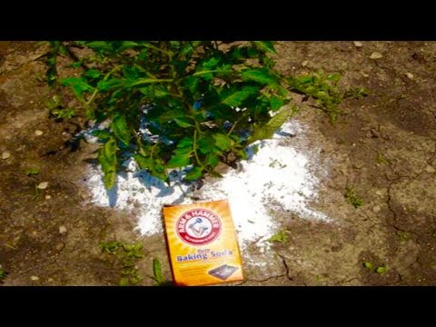 Add Baking Soda To Your Tomato Plants, Just Days Later You W...