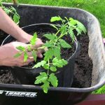How to Grow Tomatoes In Containers – Complete Growing Guide