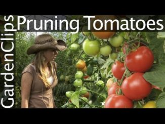 How to Prune Tomatoes - How to Trellis Tomatoes - Pruning an...