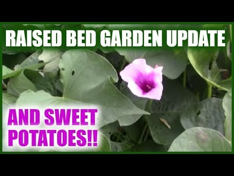 Raised Bed Garden And Sweet Potatoes | Gardening Beds | Swee…