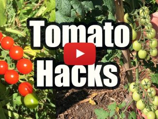 GROW TOMATOES NOT LEAVES, 3 TOMATO HACKS!