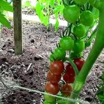How to Prune Tomatoes for Earlier Harvests, Higher Yields & ...