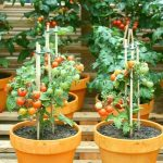 [ Watch This ] 5 Tips for Growing Tomatoes in Containers - G...