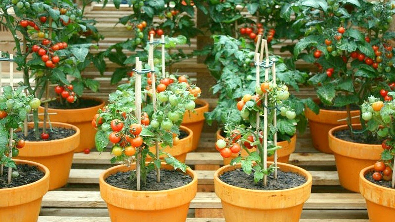 [ Watch This ] 5 Tips for Growing Tomatoes in Containers – G…
