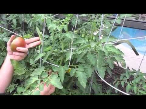 Growing Tomatoes Past Season