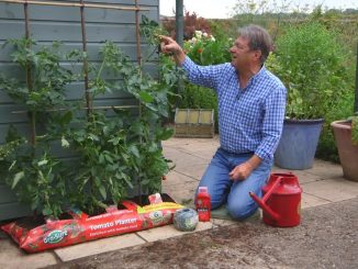 Caring for tomatoes