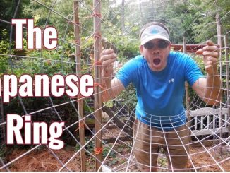 How To Grow Tomatoes in The Japanese Ring! Organic & Easy, N...