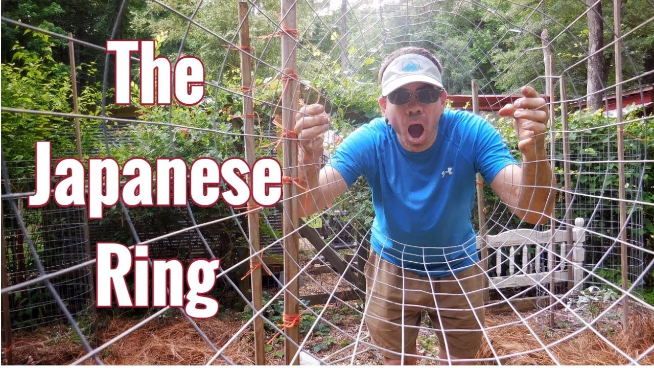 How To Grow Tomatoes in The Japanese Ring! Organic & Easy, N…