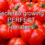 Secret to Growing Tomatoes
