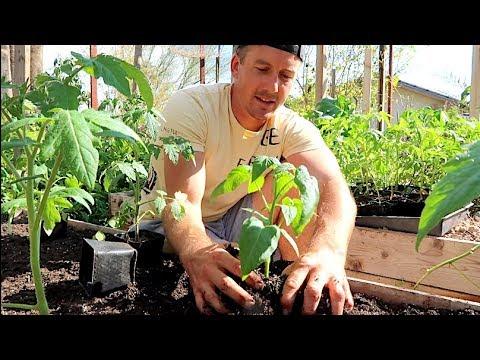Tomato Growing Basics   Raised Bed Gardening