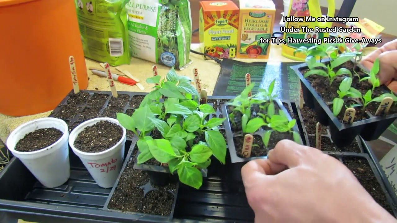 A Complete Guide for Growing Tomatoes & Peppers – Seed to Ha…