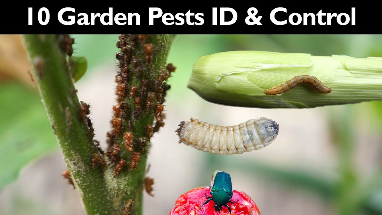 Garden Insect Control – How To Control Garden Pests Without …