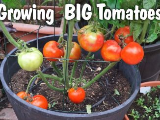 Growing Big Tomatoes in Containers - Mountain Pride Tomato