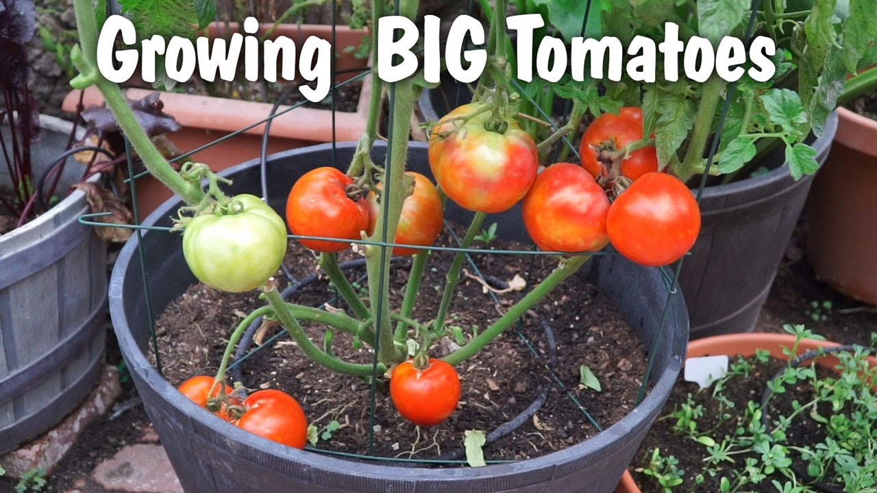 Growing Big Tomatoes in Containers – Mountain Pride Tomato