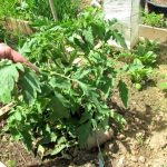A Complete Video Guide for Growing Heirloom Tomatoes: Start ...