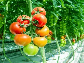 Starting a Business - Growing Tomatoes in Greenhouse and How...