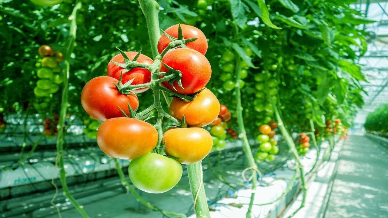 Starting a Business – Growing Tomatoes in Greenhouse and How…