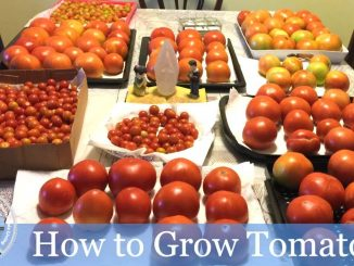 HD How To Grow Tomatoes Using My Permanent Tomato Cage