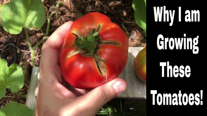 Growing Tomatoes - Varieties I am Growing and Why I Grow The...