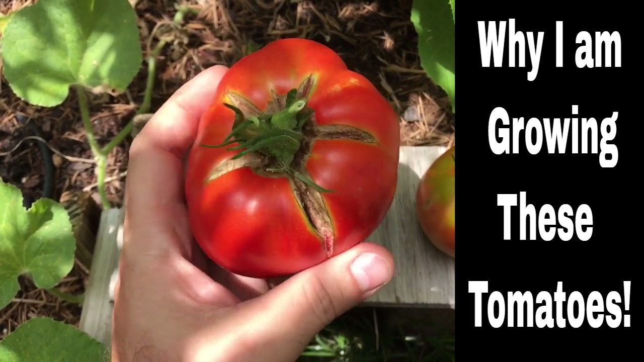 Growing Tomatoes – Varieties I am Growing and Why I Grow The…
