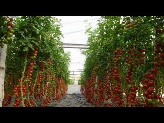 Super tomato yield  - How to String  Sucker Tomato Plants