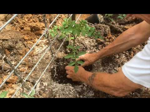 TOMATOES – GROWING STEP BY STEP [HOW TO DO IT]  (OAG 2017)